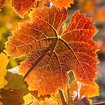 Cooper Vinyards colorful grape leaves in fall, Amador County, Calif.