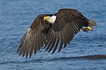 A bald eagle flying over Kachemak Bay in Homer, Alaska.