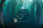 LA Waterkeeper diver lays out transect line for kelp restoration project, Long Point, Palos Verdes, CA