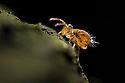 Globular Springtail {Dicyrtomina saundersi} on decaying wood. Derbyshire, UK. November.