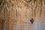 Columbia Ranch, Brazoria County, Damon, Texas; an American Coot creates ripples in the water's surface after diving for food