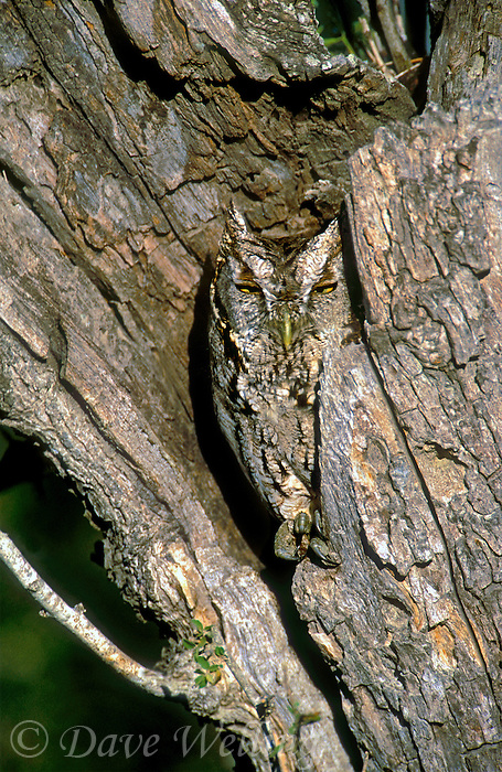 5577978004 wild well camouflaged eastern screech-owl otus asio perched in a cavity in a dead mesquite tree in the rio grande valley in texas