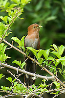 513530016 a wild adult squirrel cuckoo piaya cayona sits in a small shrub on a private ranch in tamaulipas state in northern mexico