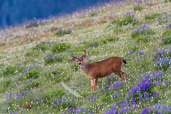 Columbian black-tailed deer (Odocoileus hemionus columbianus) buck in subalpine meadow filled with wildflowers.  Olympic National Park, WA.  Summer.