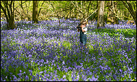 Stunning bluebells in a Dorset wood.