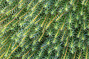 Polytrichum Moss {Polytrichum sp.} growing in bogland. Peak District National Park, Derbyshire, UK. April.