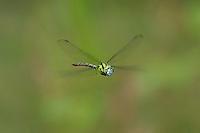 339550001 a wild male malachite darner remartinia luteipennis flies over a small stream near empire creek las cienegas natural area santa cruz county arizona united states