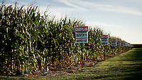 A field, in south west Kansas, of genetically modified corn grown from Croplan Genetics seed.