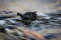 In blurred fury, an American coot springs into action, sending spray flying, while chasing another coot on the waters of a lagoon on Alameda, California's, Bay Farm Island.