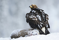 Golden eagle (Aquila chrysaëtos), Flatanger, Norway