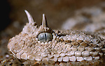 Desert Horned Viper, Cerastes cerastes, North Africa, close up of head, eyes, horns, scales, snake.Africa....