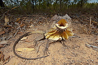 Frilled Lizard in defensive posture (Chlamydosaurus kingii), Mareeba, Queensland, Australia