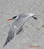 0711-0804  Flying Royal Tern, Thalasseus maximus maximus (syn. Sterna maxima) © David Kuhn/Dwight Kuhn Photography