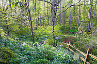 Spring woodland garden, with rustic split rail fence and flowering ephemeral wildflowers in deciduous woods, Boninti Garden, Virginia