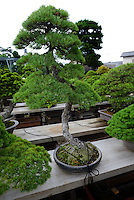 A bonsai tree. Bonsai-mura, Omiya, Saitama Prefecture, Japan, June 25, 2013. The Omiya Bonsai Village was founded in 1925 and is Japan's most famous production center for bonsai.