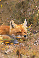 Red fox sleeping, Denali National Park, Alaska