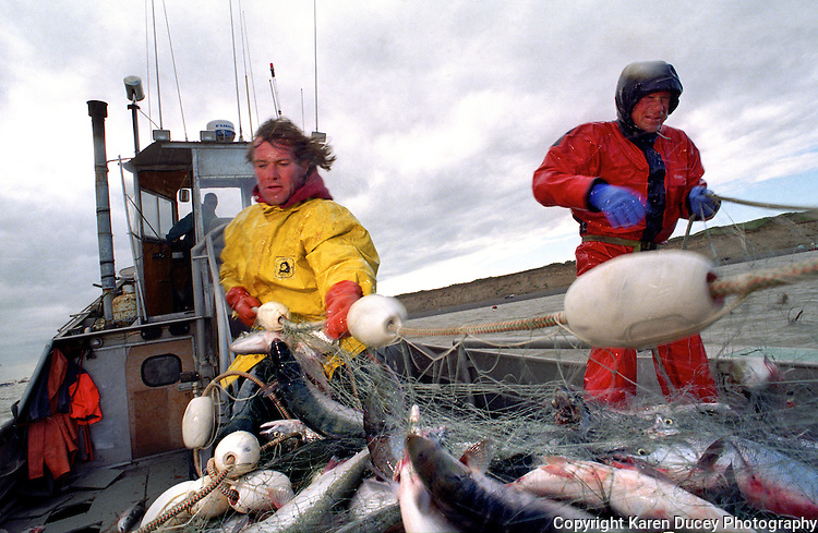 "Sockeye salmon fishing in Bristol Bay Alaska on board the F/V Dr. Jack in July 1998. Bristol Bay is home to the world's largest sockeye salmon fishery. The commercial salmon drift gillnet fishing fleet is limited to boats no longer than 32 feet in length. There were over 1,800 permanent entry permits listed in 2002 which each vessel is required to have. Typically boats fish with two or three deckhands. Peak of the season is around July 4th in this fishery which lasts about a month. The rivers also get a fair amount of chum, king, and chinook salmon. Bristol Bay is located in the southwest part of Alaska. This fishery is managed by ""the Alaska Department of Fish and Game"" and is a sustainable fishery. Until around the year 2000, fishing on the Egegik North Line was lively and lucrative.."