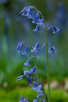 The Common Bluebell (Hyacinthoides non-scriptus) has lavender-blue bell-shaped flowers