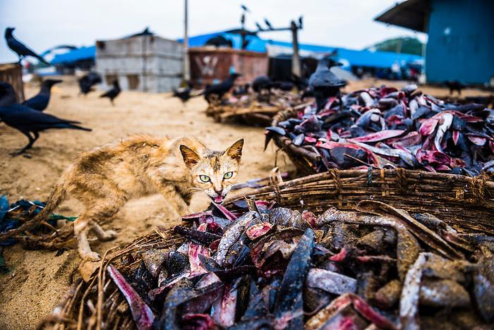 Cat in negombo fish market lellama fish market negombo for Williams fish market