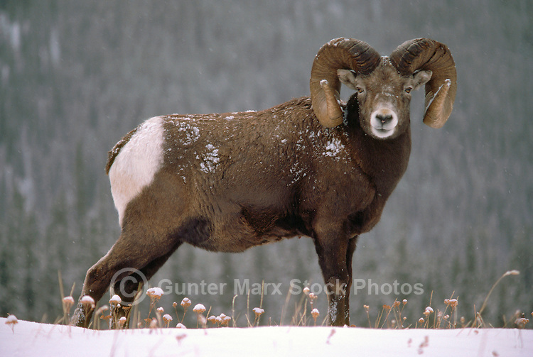 One Rocky Mountain Bighorn Sheep Ram (Ovis canadensis) standing in Snow, Banff National Park, Canadian Rockies, AB, Alberta, Canada, Winter