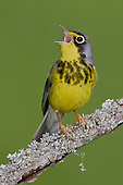 A Canada Warbler (Wilsonia canadensis) singing on a branch, Ontario, Canada.