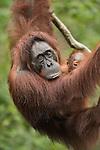 Indonesia: Primates and Dragons