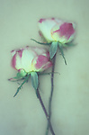 Two drying cream and dark pink roses on long stems behind frosted glass