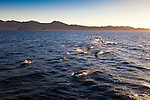 A joyful pod of dolphins swimming in the Sea of Cortez, Baja California, Mexico