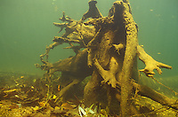 Underwater Scene (Root wad on river bottom)<br />