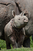 Indian Rhinoceros (Rhinoceros unicornis) calf with mother
