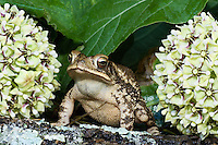 480080007 a wild gulf coast toad bufo valliceps valliceps sits on a lichen covered log surrounded by antelope horns wildflowers ascelpias asperulaby a pond in the texas hill country of central texas