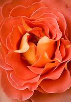 Rosa 'Brass Band' orange floribunda rose flower close-up petal detail