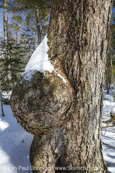 Tree burl on an old yellow birch tree in the White Mountains of New Hampshire USA
