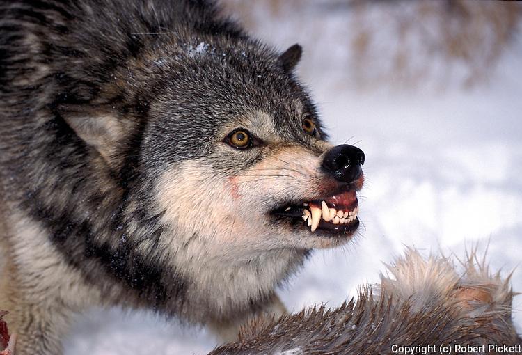 List of wolf attacks in North America  Wikipedia