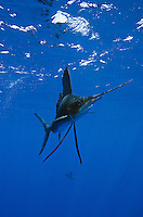 qh1425-D. Atlantic Sailfish (Istiophorus albicans). Some consider this the same species as the Indo-Pacific Sailfish (I. platypterus). Mexico, Gulf of Mexico..Photo Copyright © Brandon Cole. All rights reserved worldwide.  www.brandoncole.com..This photo is NOT free. It is NOT in the public domain. This photo is a Copyrighted Work, registered with the US Copyright Office. .Rights to reproduction of photograph granted only upon payment in full of agreed upon licensing fee. Any use of this photo prior to such payment is an infringement of copyright and punishable by fines up to  $150,000 USD...Brandon Cole.MARINE PHOTOGRAPHY.http://www.brandoncole.com.email: brandoncole@msn.com.4917 N. Boeing Rd..Spokane Valley, WA  99206  USA.tel: 509-535-3489