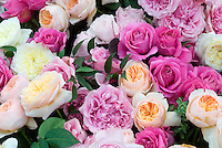 Roses Stock Photos