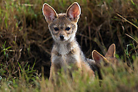 Alert Black-backed Jackal pups at den opening (Canis mesomelas), Maasai Mara National Reserve, Kenya.
