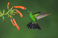 Green-crowned Brilliant (Heliodoxa jacula) Booted Racket-tail (Ocreatus underwoodii),adults feeding on flower,Mindo, Ecuador, Andes, South America