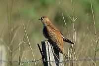 Kuckuck, braun gefärbtes Weibchen, Cucullus canorus, cuckoo