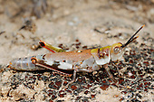 Socotran Grasshopper (Physemophorus sokotranus) endemic to Socotra, Yemen.
