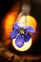 Blue Anemone (Hepatica nobilis), Norway