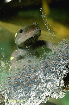 SL06-066x  Salamander - spotted salamander female laying eggs in pond - Ambystoma maculatum