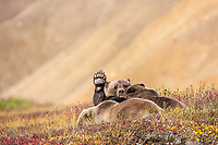 Sow grizzly bear nurses two cubs in the autumn tundra in Highway pass, Denali National Park.
