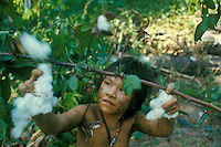 Slash-and-burn agriculture by Indians of Guiana Highlands of Venezuela: girl picking cotton.
