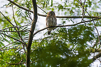 A Cuban Pigmy Owl (Glaucidium siju), perched in a tree in early morning. Najasa, Cuba.