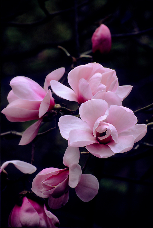 Close-up of flowers and buds of Magnolia campbelli var. mollicomata at dusk, Stanley Park, Vancouver, BC