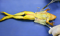 FROG DISSECTION<br /> (2 of 4)<br /> An incision is made on the ventral side<br /> The skin is pinned back so that the muscle layer is exposed. Dissection scissors and forceps are visible. The frog is a preserved, dye-injected specimen.