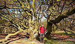 Old coppiced beach trees in Castramont Wood, walker walking between two beech trees. Fleet Valley National Scenic Area, Scotland, UK