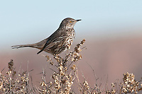 Sage Thrasher