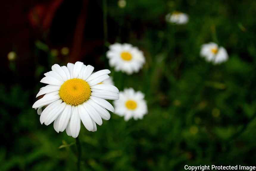 Daisies in a field.